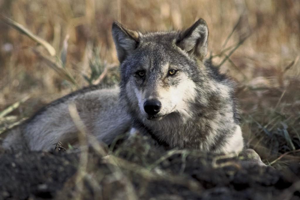 Wolfdog hybrid from 'White Fang '