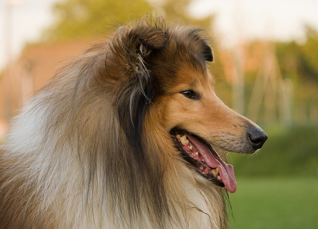 Lassie the dog from 'Lassie Come-Home'