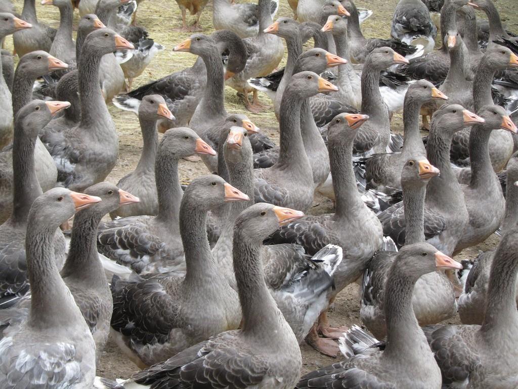 Geese from Périgord │© cvittoz