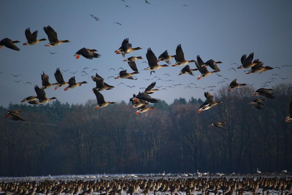 Wild geese migrating │© rihaij