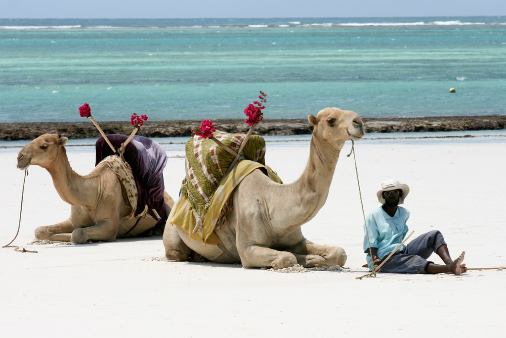 Camels and its guide at Diani beach