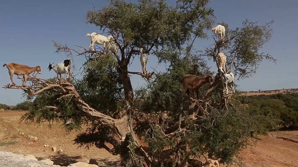 Goats on Trees 2
