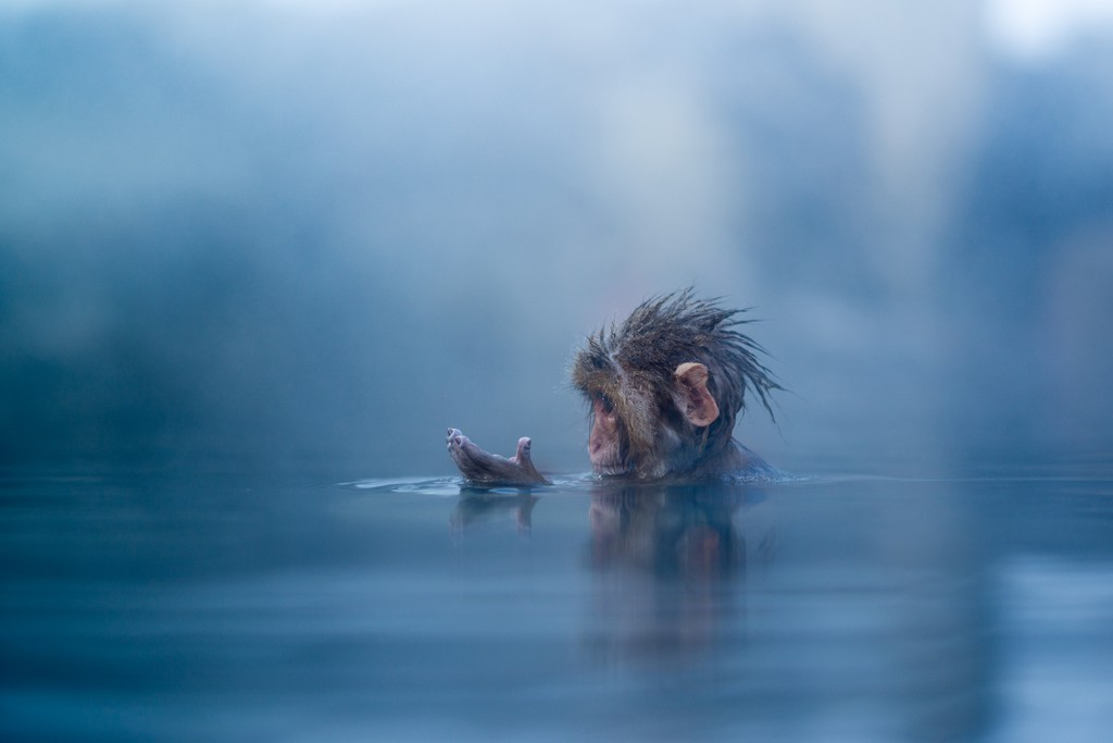 Infant Japanese snow monkey bathing in hot spring in in Nagano Prefecture