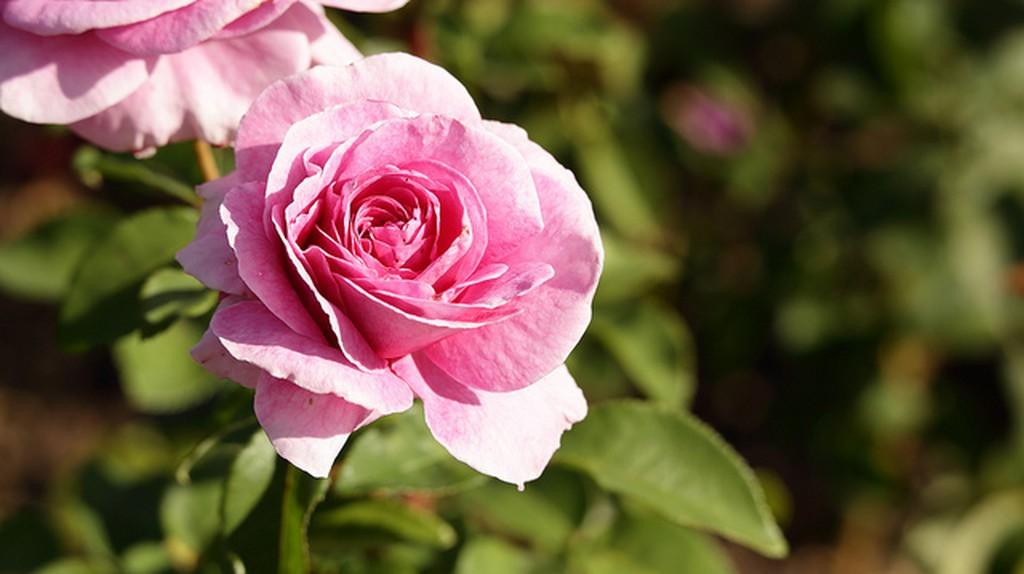 Roses in Parnell Rose Garden I ©  Pablo Garbarino/Flickr