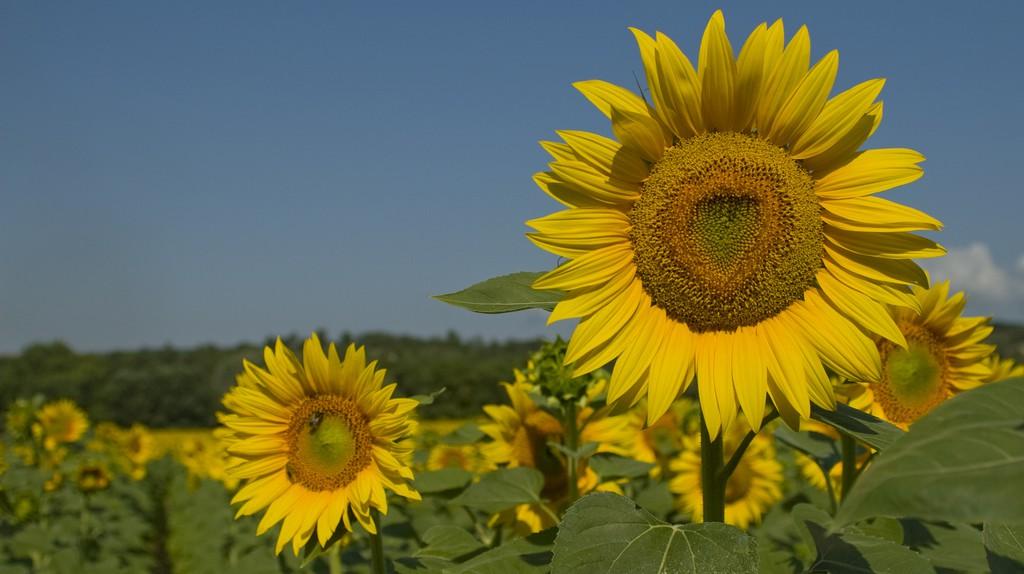 SunFlowers | © Alex Janssen/Flickr