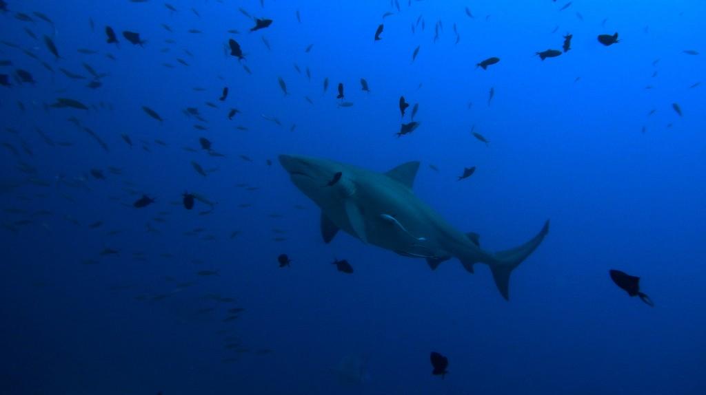 Bull Shark   © Sylke Rohrlach / Flickr