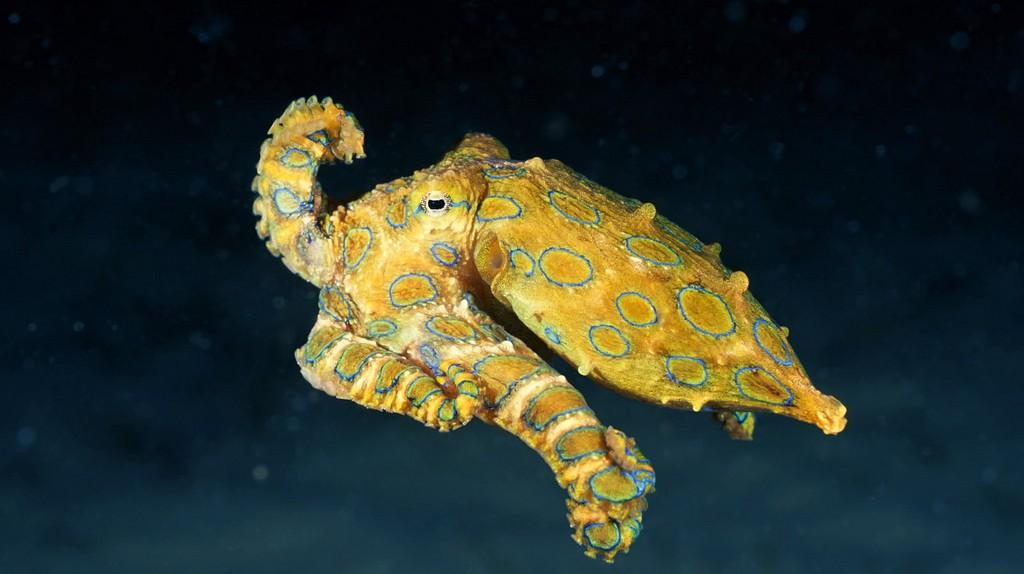 Blue-Ringed Octopus | © Angell Williams / Flickr
