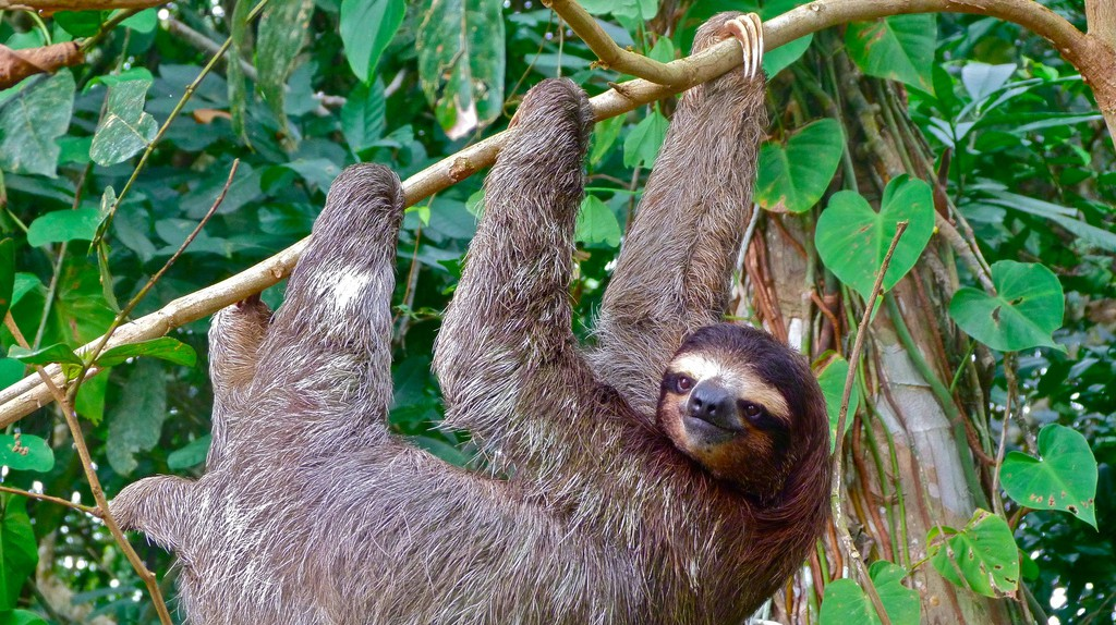 Three-toed sloth  © Marissa Strniste/Flickr