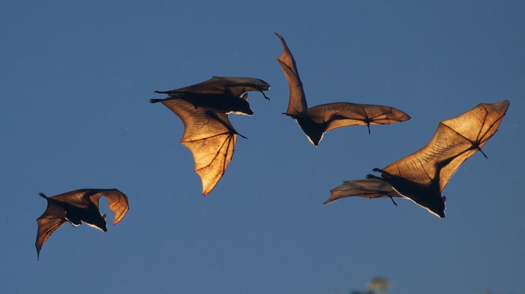 Fruit Bat | ©Tshellac/Flickr