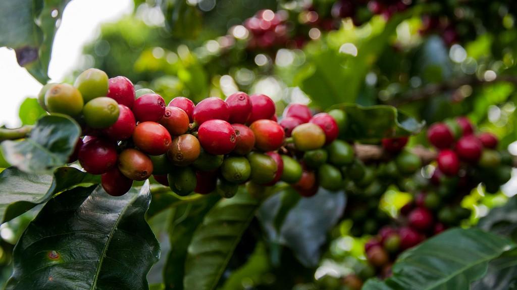 Coffee cherries |©Wendy/Flickr