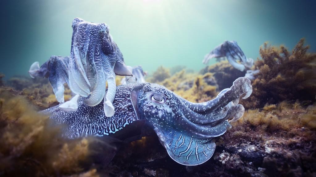 Giant cuttlefish mating aggregation, South Australia |©  Hugh Miller