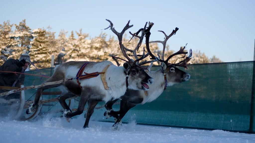 Reindeer races in Jokkmokk