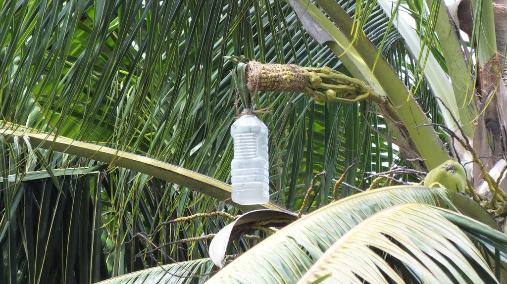 Sap of the palm being collected for palm wine | ©villimaka foliaki / Flickr