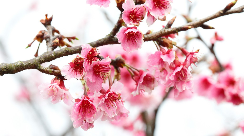 Cherry Blossoms in Spring | © MiNe Flickr
