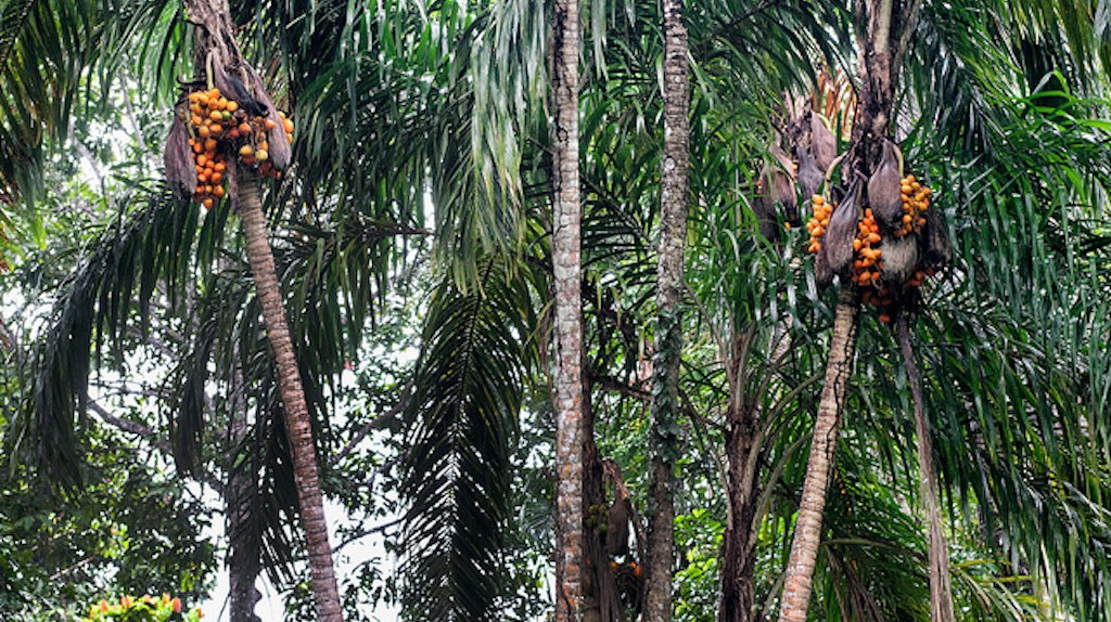 Such a delicious palm | © CIFOR/Flickr