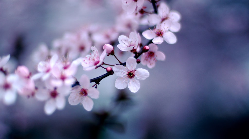 Sakura branch | © Jeff Kubina/Flickr