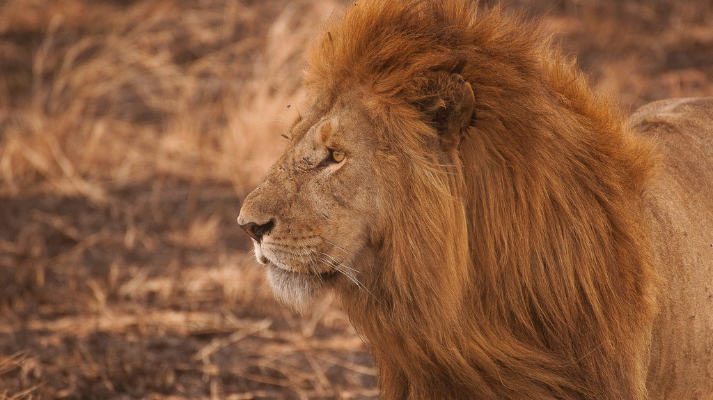 If you're lucky you'll spot lions while on safari. Remember that Satara in The Kruger National Park is lion territory | ©Amar Yashlaha/Unsplash