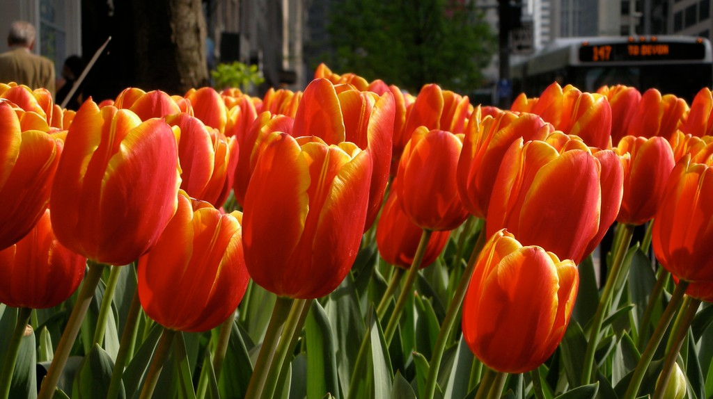 Michigan Avenue tulips | © Kathryn Powell / Flickr