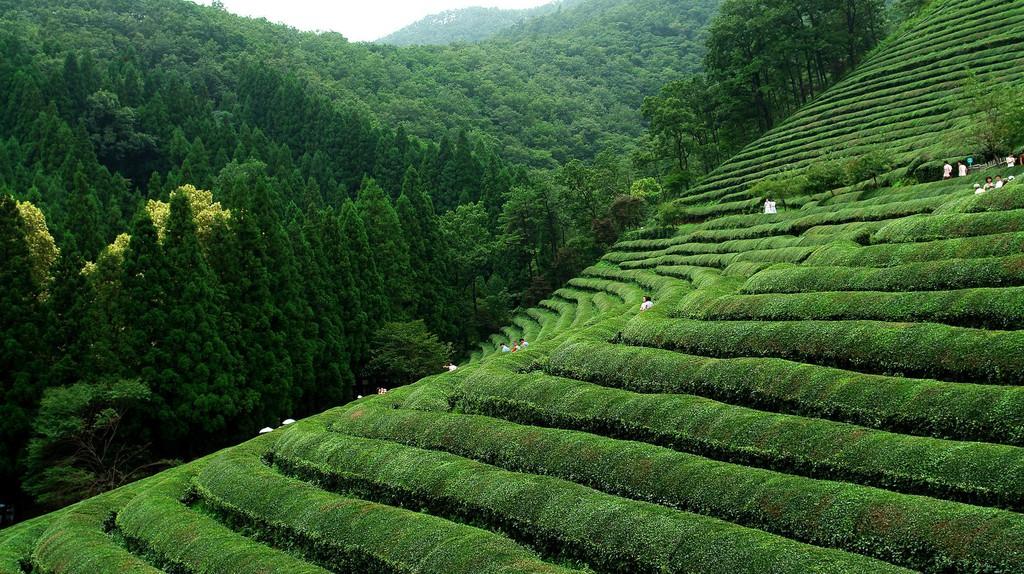 Boseong green tea fields | © Yeongcheol Lee / Flickr
