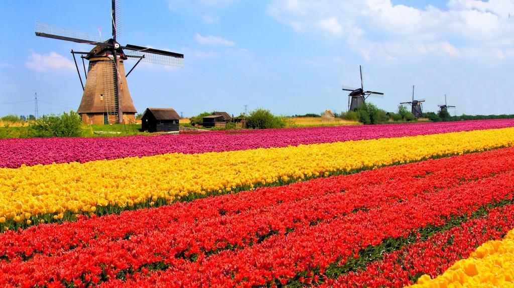 Vibrant tulips fields with windmills in the background, Netherlands | © JeniFoto/Shutterstock