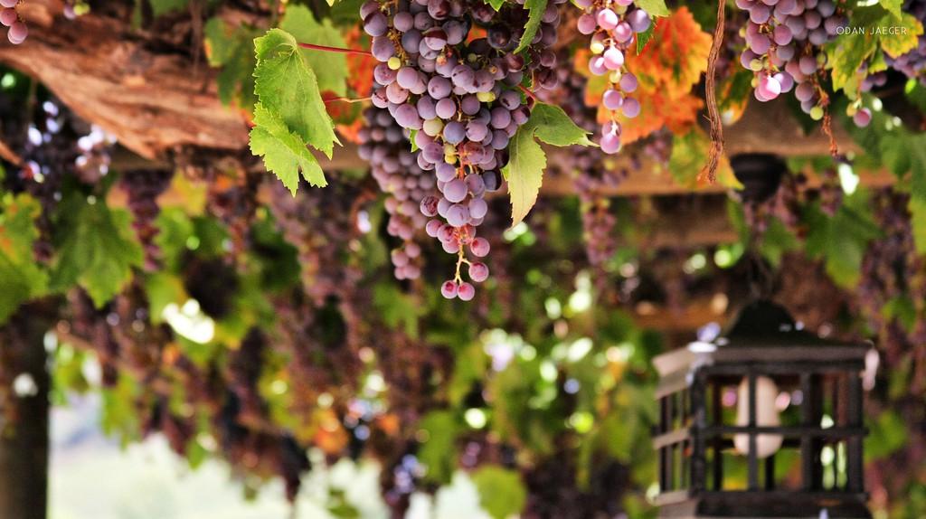 Vineyard in Chile | © Dan JV/Flickr