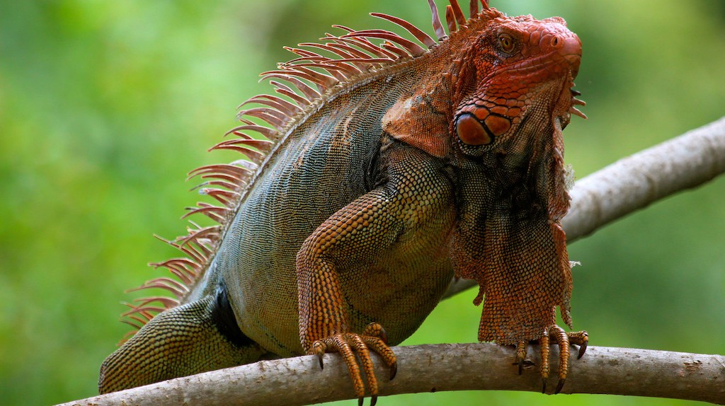 Iguanas are among Costa Rica's wildlife I © Roy Luck/Flickr