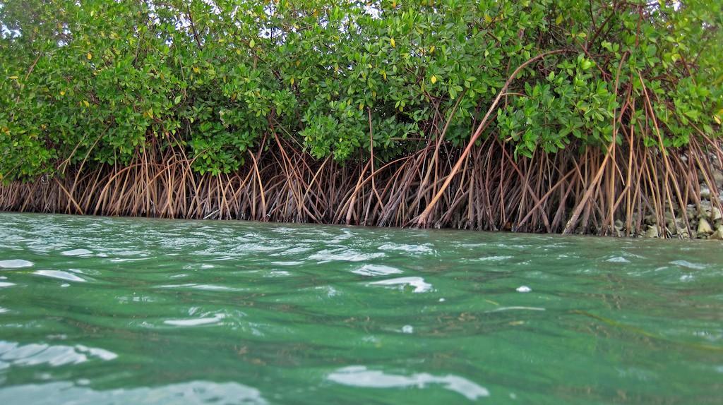 Red mangroves  © James St John/Flickr