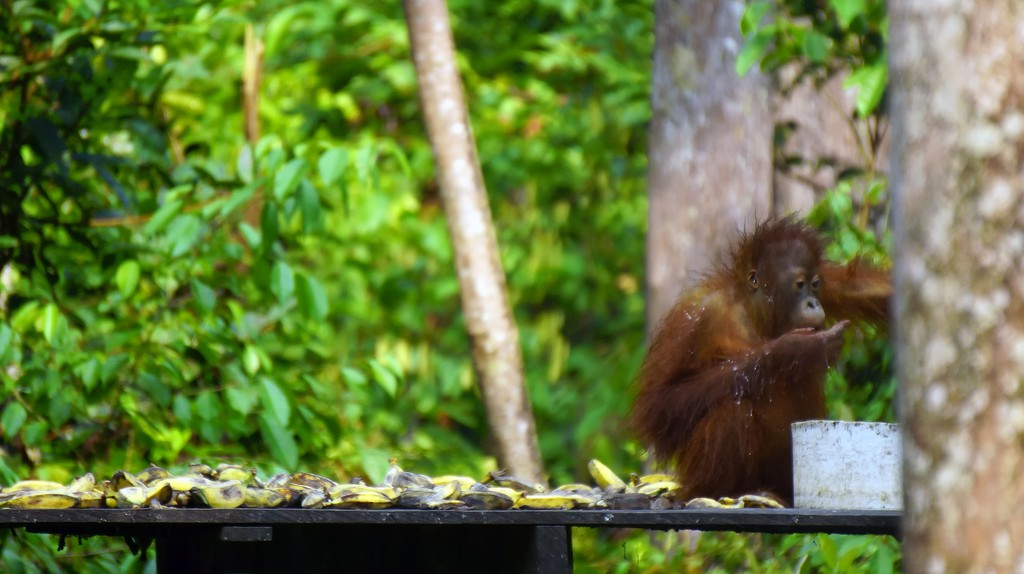 An orangutan at Tanjung Puting National Park, Indonesia | © Budi Nusyirwan / Flickr