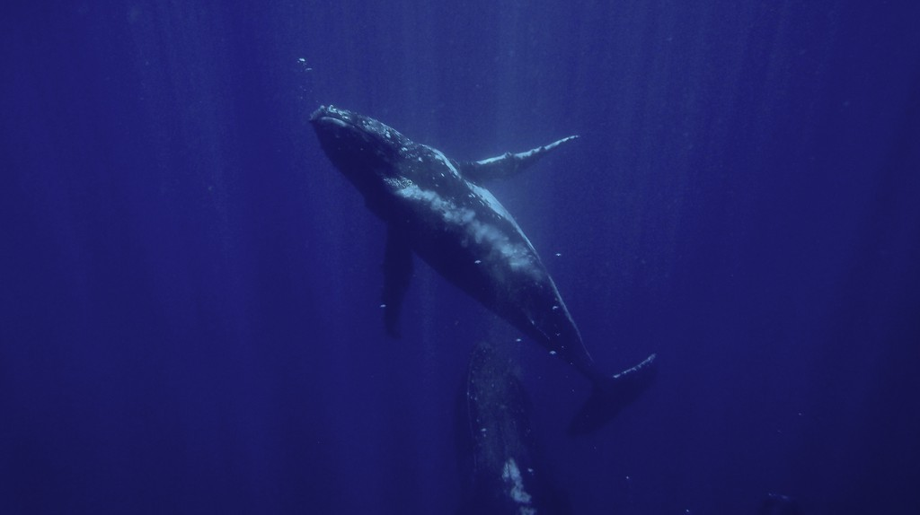 Lucky divers in Gorgona might even see Humpback Whales | © Sylke Rohrlach/Flickr