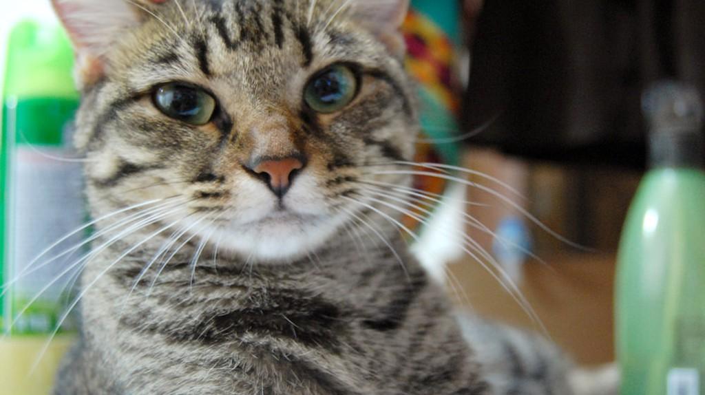 Pet Cat | © anaa yoo / Flickr