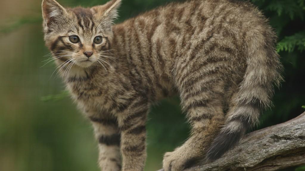 Scottish Wildcat Kitten | © Peter Trimming/Flickr