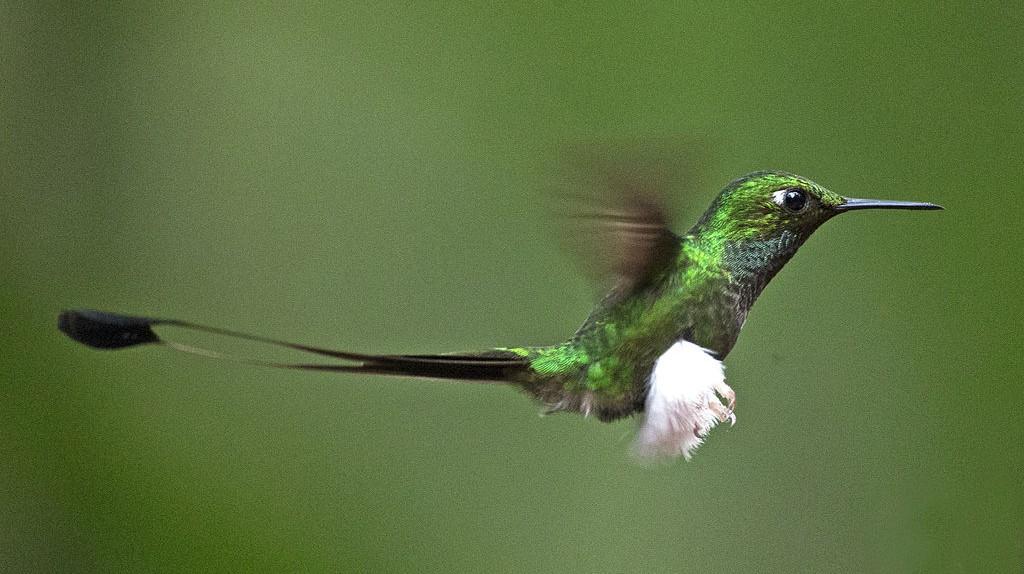 Booted Racket-tail, Tandayapa | © Lip Kee / WikiCommons