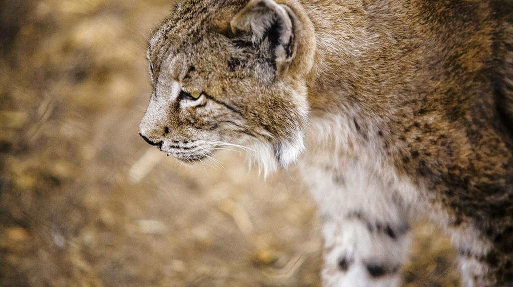 Iberian lynx |  © jmucendo/Pixabay