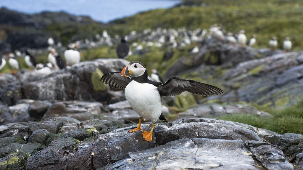 Puffin, Farne Islands | © Conor Lawless/Flickr