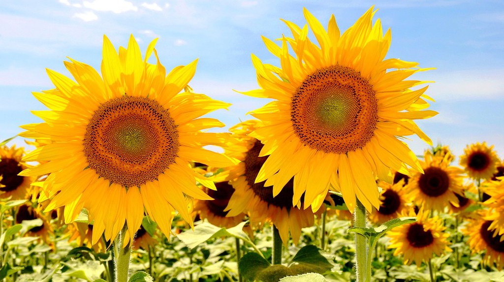 Sunflowers in bloom   © szjeno19190/Pixabay