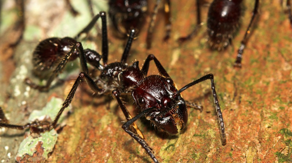 Bullet ant  © Ryan M. Bolton/Shutterstock
