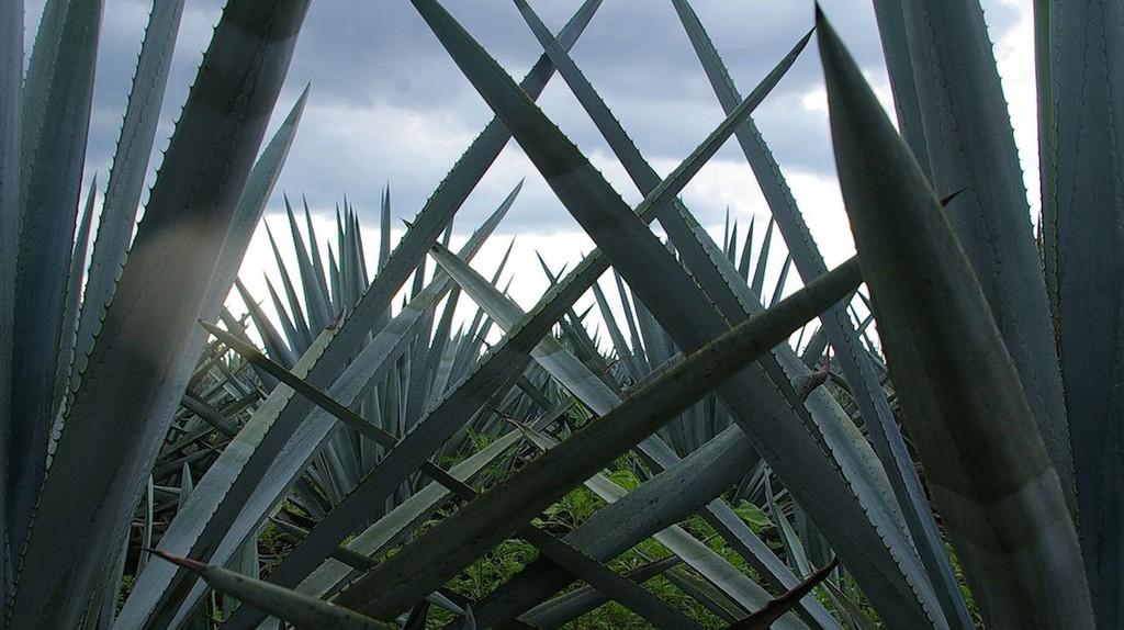 Agave plants | © Thomassin Mickaël / Flickr