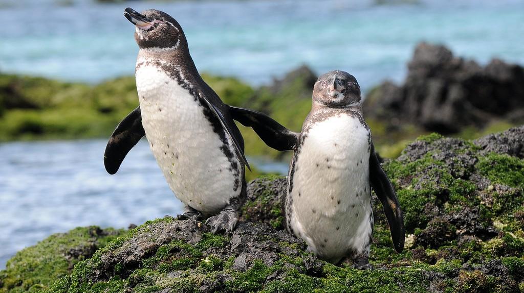 Galapagos Penguins | ©zpics /Flickr