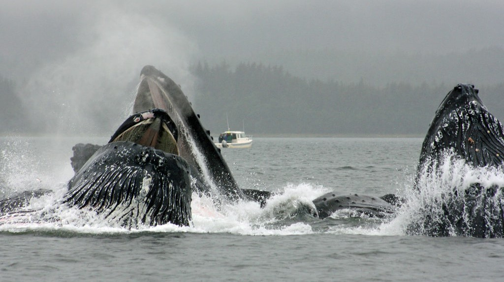 Humpback whales in Alaska using their bubble net feeding technique   © jerseygal2009/Flickr