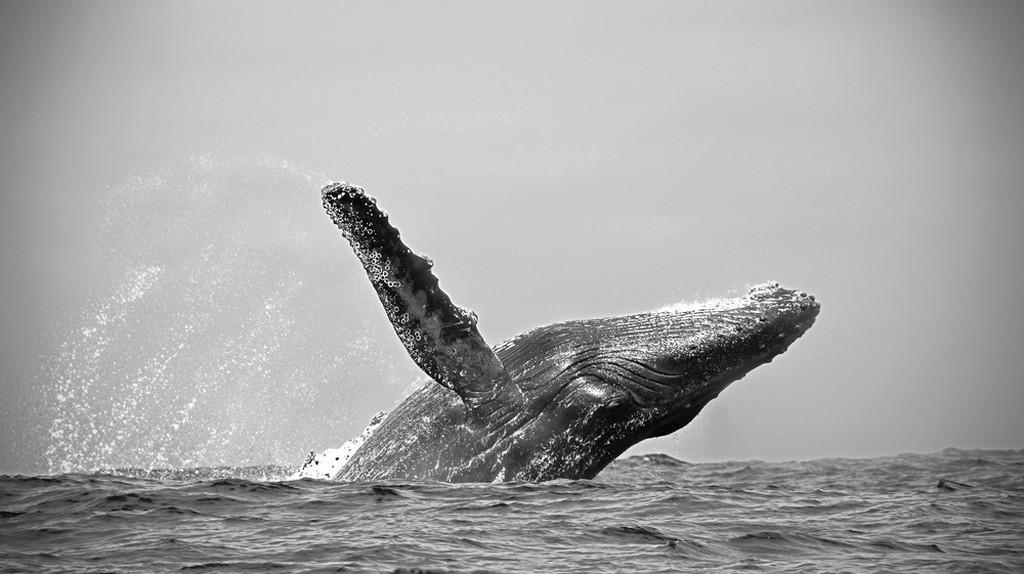 Humpback whale, Ecuador | © Nadine Reichardt/WikiCommons