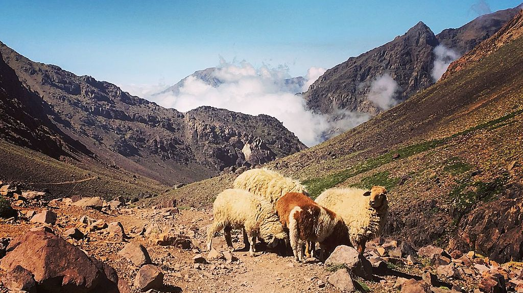 Sheep grazing in Toubkal National Park | © Wikimedia Commons