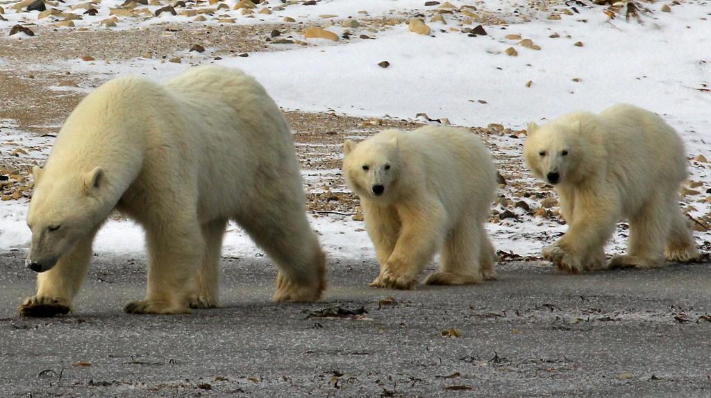 Polar bears   © Emma / Flickr