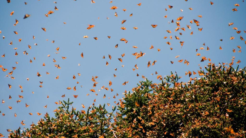 Monarch butterflies of Janitzio | © Noradoa/Shutterstock
