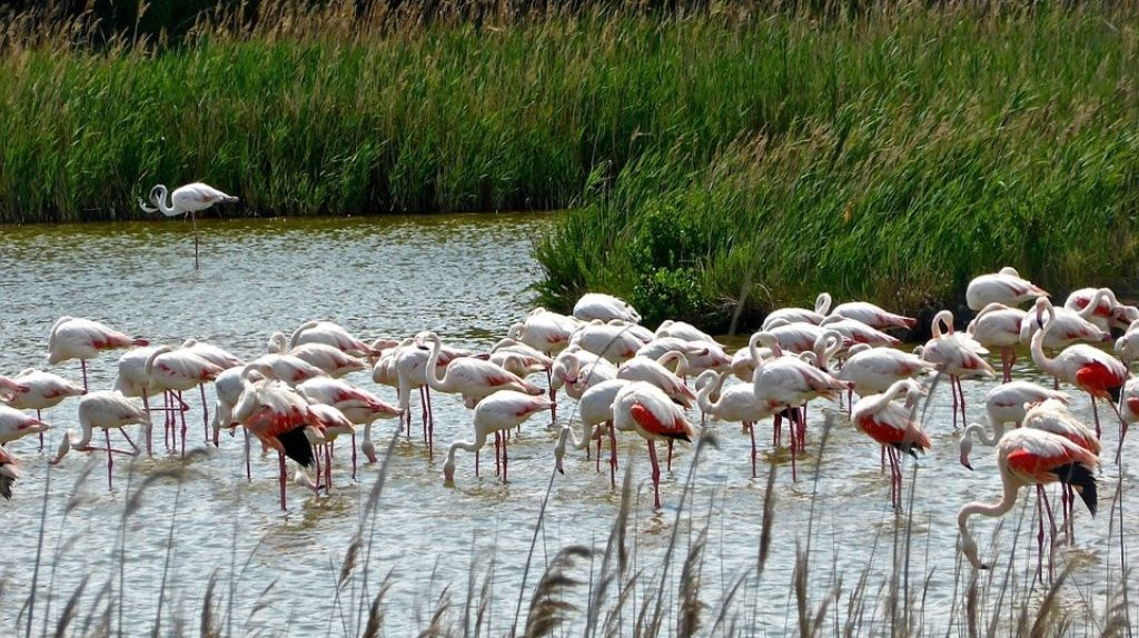 Flamingos, India   © MemoryCatcher / pixabay