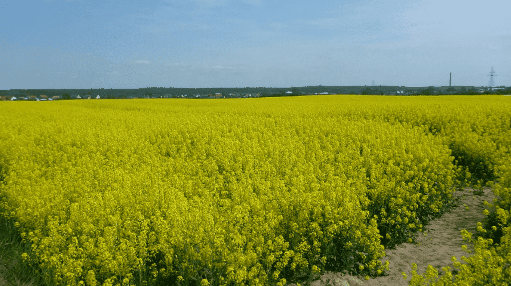 Yellow fields of charming Kokoszkowy | © Northern Irishman in Poland