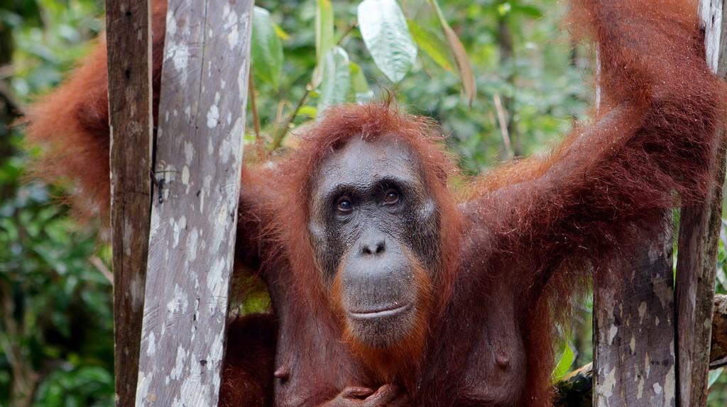 Orangutan in Borneo © Alistair Kitchen / Flickr