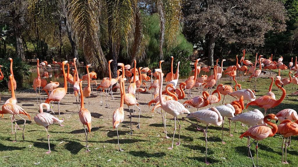 Pink flamingos at the Pretoria Zoo   © Suneé Jones