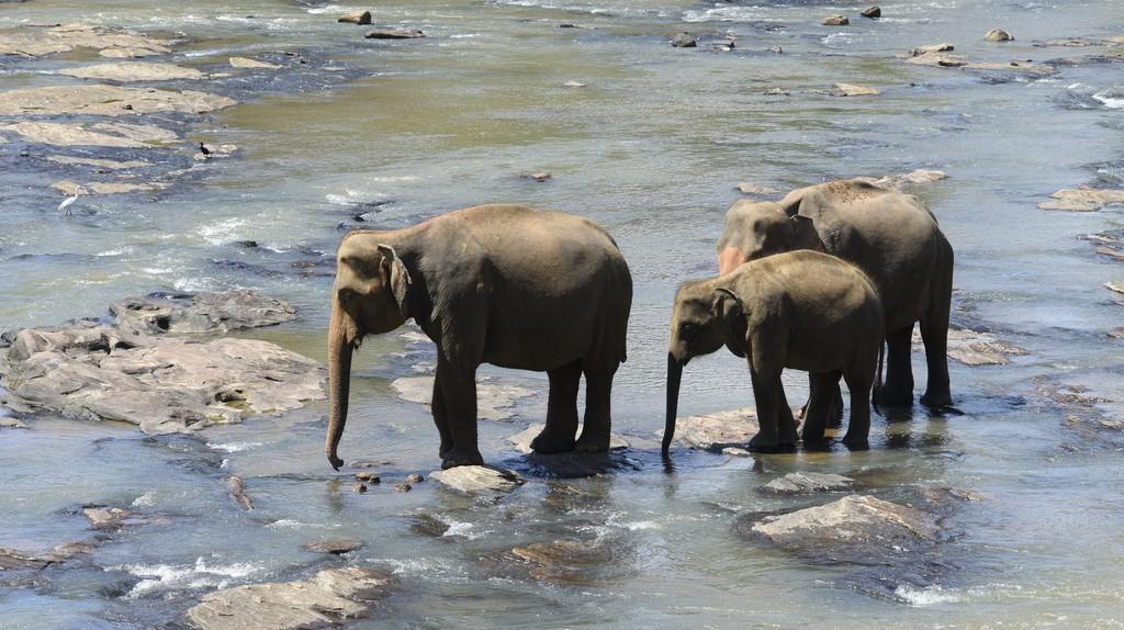 Sri Lankan elephants cooling off | ©Ted Drake / Flickr