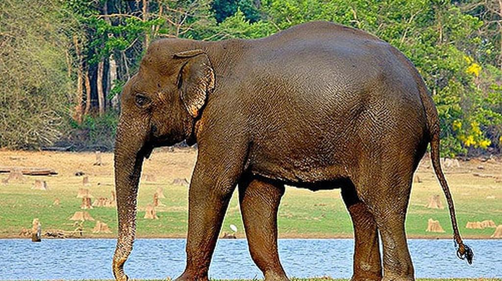 Asian or Indian Elephant | © Jayanand Govindaraj | Flickr