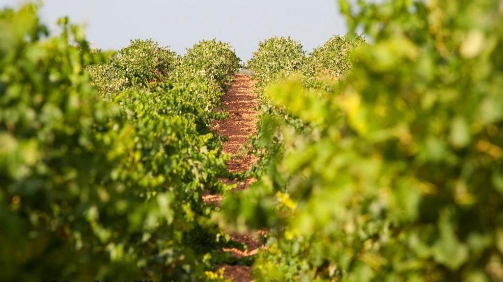 Vineyards in Requena, Valencia region, Spain I © Guillermo Baixauli / Flickr